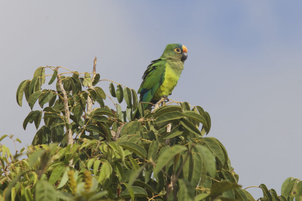 More than 800 bird species are found in the Cerrado, including the peach-fronted parakeet. ©O. Langrand